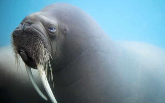 walrus, морда, бивни