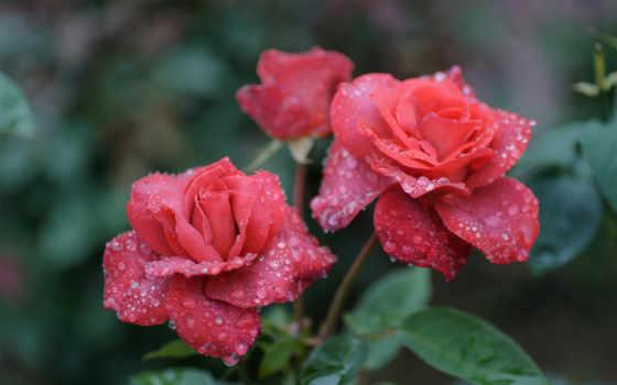 цветы, прекрасные, розы