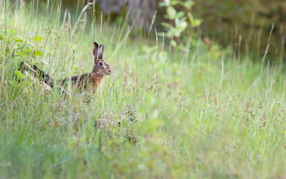 priroda, zhivotnye, кролик