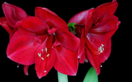 цветы, fone, черном, red, амариллис,
