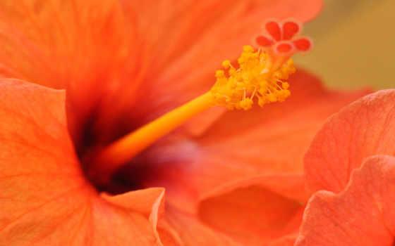оранжевый, цветы, desktop