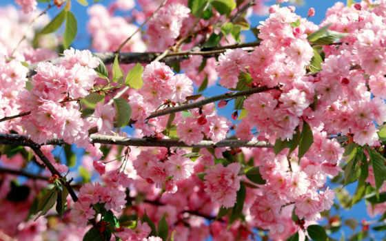 весна, цветы, Сакура, ветки, цветение, дерево, небо, япония,
