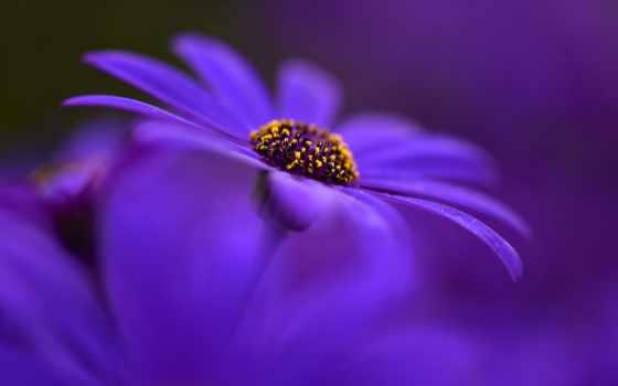 цветы, purple, лепестки, макро, растение, страница, природа,