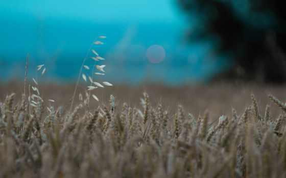 колосья, заставки, пшеница, windows, нашем, поле,