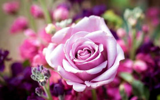 cvety, красивые, роза