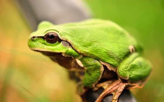 лягушка, лягушки, toad,