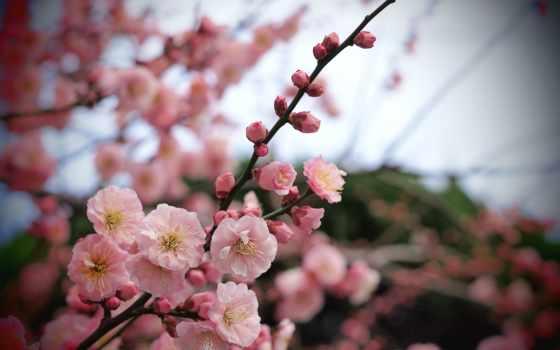 cvety, розовые, branch, лепестки, дерево, макро, абрикос, бутоны,