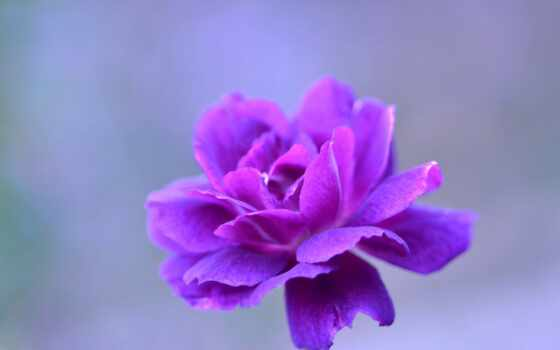 cvety, purple, цветы, лепесток, красивый