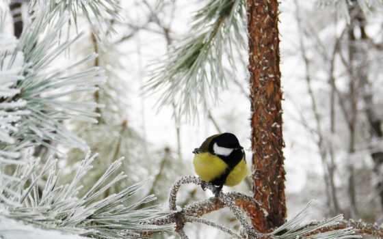winter, titmouse, снег, заснеженный, красивый, есть, природа, tit, иней, лес