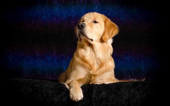 cover, retriever, золотистый, собака, порода, группа