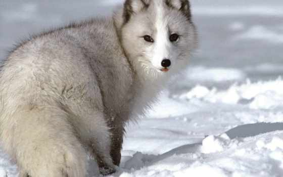 песец, животное, небольшое, хищное, сравнительно, лисицу, напоминающее,