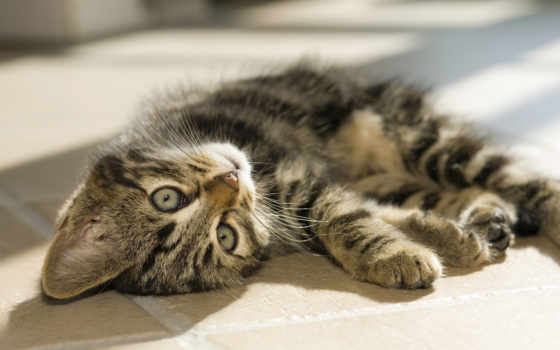 полосатый, котенок, лежит