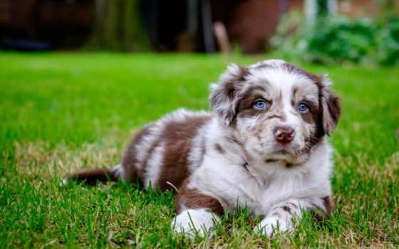 australijski, owczarek, pies, tapety, psy, psów, mały, ка, szczeniaczek,
