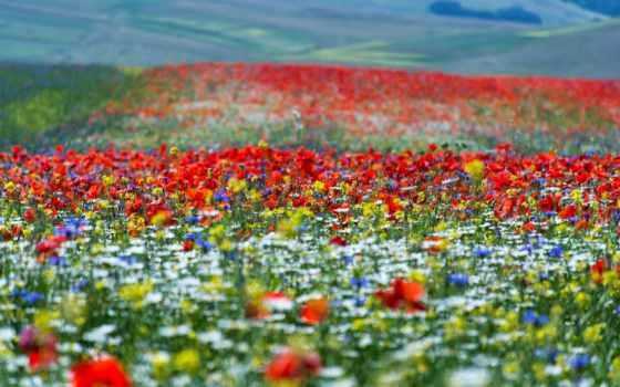 batii, bito, цветы, природа, italy, луга, изображение, grasslands, summer,