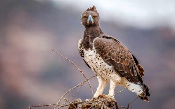 animal, орлан, sas, full, madár, birds, animals,