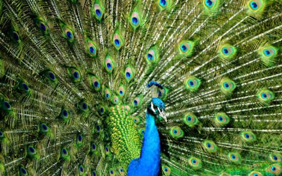 peacock, фототапети, паун, fototapet, за, visionbedding, красавица, окрас, murals,