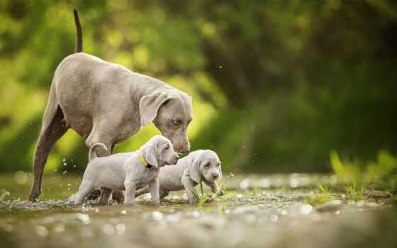 собака, weimaran, щенок, small, animal, cute, twin, серый, water, река