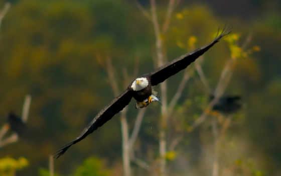 орлан, крылья, птица