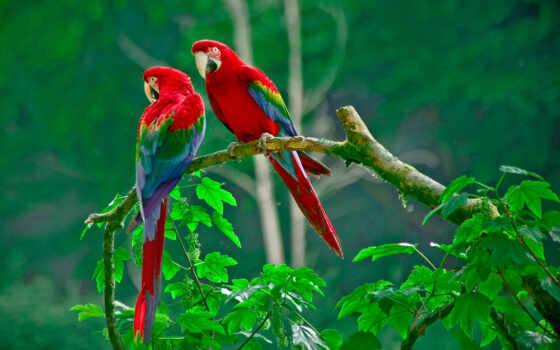 попугаи, попугай, branch, ara, попугая, ветке, сидят, разных, разрешениях, pair,