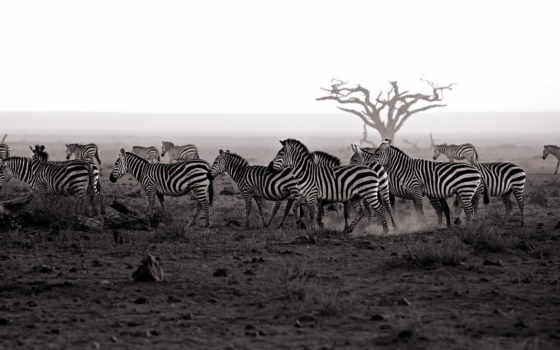 zebra, зебры, животных, league, ford, classic, duvar,