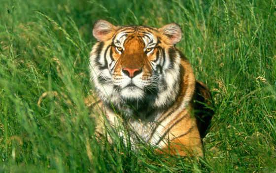 zhivotnye, говорящие, everything, тигры, красивые, самые, тигр, fotos, she, анимация, бою,