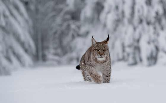 рысь, кот, снег, лес, drift, winter, взгляд, goodfon, морда