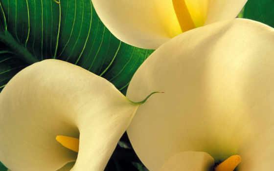 calla, цветы