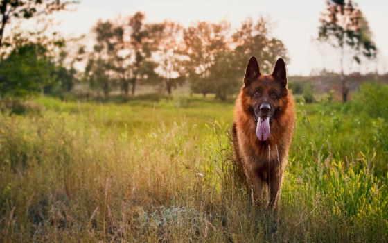 овчарка, немецкая, собака Фон № 73193 разрешение 2560x1440