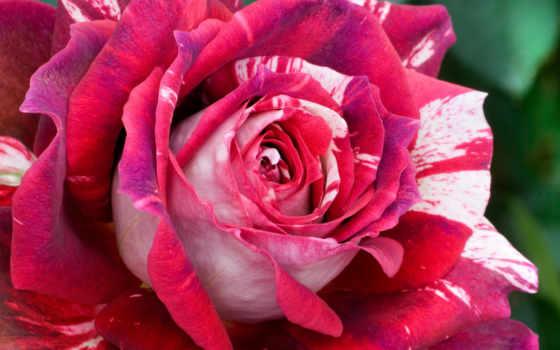 rosa, julio, iglesias