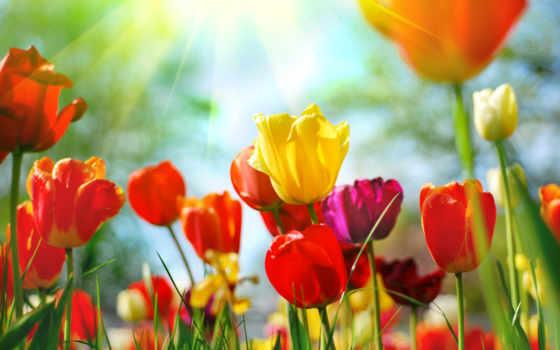 тюльпан, cvety, цветов