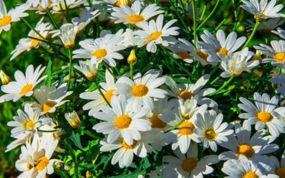 ромашки, цветы, текстура
