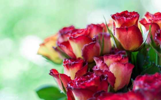цветы, розы, flowers