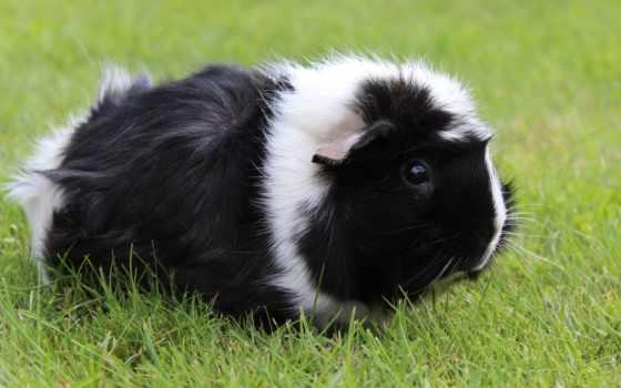 guinea, свинья, морская, свинка, desktop, new, free,