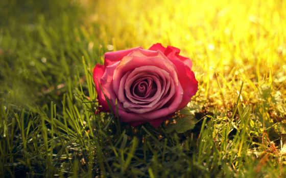 роза, траве, красная, cvety, розы,