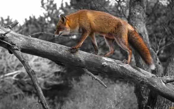 фокс, лисы, zhivotnye, картинку, картинка, trees, дереве, zoom, под,