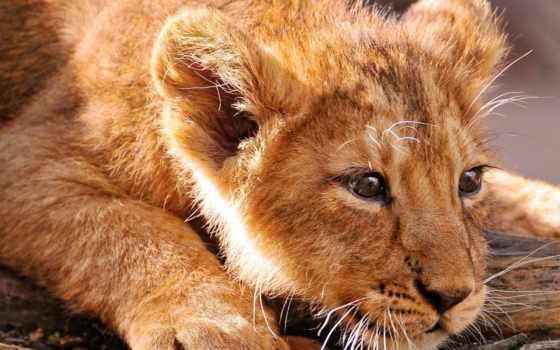 lion, детёныш, кот