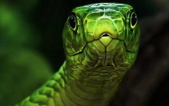 snake, зелёная, змеи, голова, картинка, зеленой,