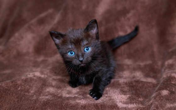 black, котенок, глазами, голубыми, small, стоит, кот, browse, бархатной,