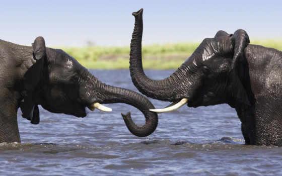 слон, слоны, zhivotnye, воде, слонов,