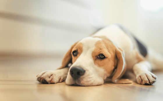 beagle, собака, dogs