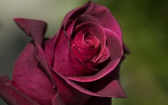 shayari, роза, dosti, дружба,