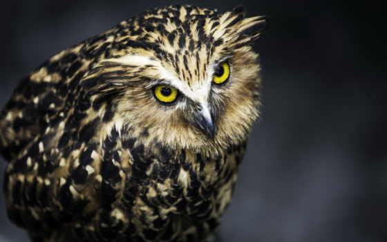 сова, owls, птица
