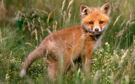 лисенок, животных, фокс