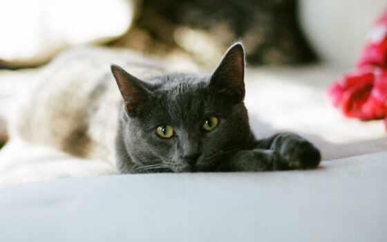 кот, animal, white, млекопитающее, pet, браун, wichita, chartreu