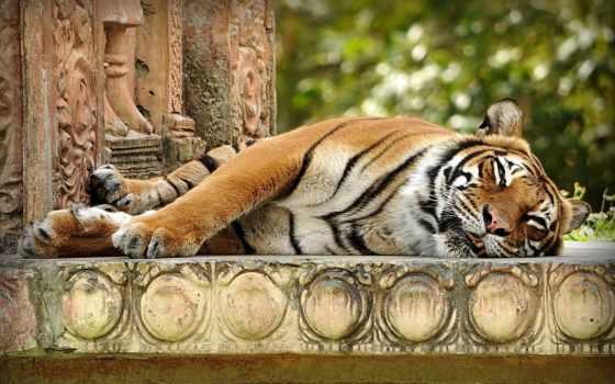 тигры, красивых