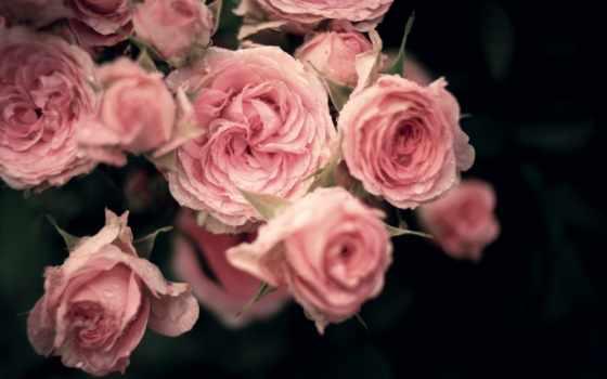 розы, roses, flowers