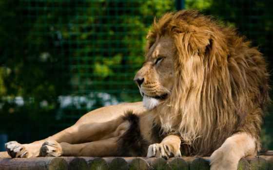 грива, lion, морда, хищник, отдых,