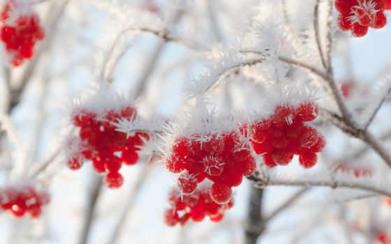 winter, рябина, иней, ягоды, природа, рябины, нояб, google,