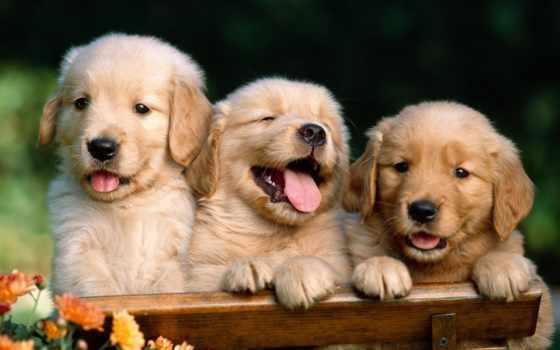 щенки, zhivotnye, щенка, собаки, большие, забавные, лабрадо, трио, светлая, шерсть,