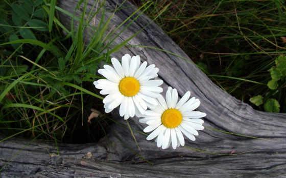ромашки, cvety, трава